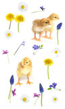 Baby chicken and flowers Stock Image