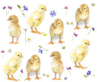 Baby chicken and flowers Stock Photography