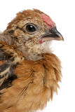 Baby chicken, in front of white background Stock Photos