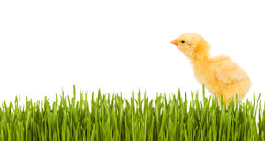 Baby chicken in grass isolated with copy space. Baby chicken in grass isolated on white with copy space royalty free stock photos