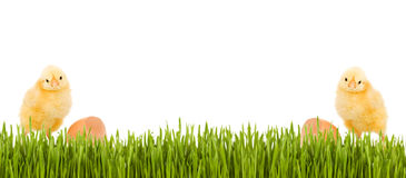 Baby chicken and grass spring banner. With copy space - isolated stock images