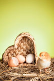 Baby chicken on green background Stock Image