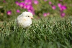 Baby chicken on green grass Stock Images