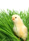 Baby chicken on green grass Stock Image