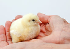 Baby chicken in hand Stock Photo
