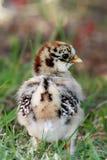 Baby Chicken. Happy free range baby chicken Stock Photos