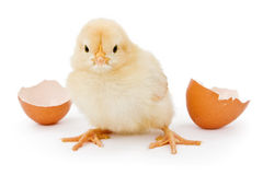 A baby chicken hatched from a brown egg. A newborn yellow baby chicken next to a brown open egg shell Stock Photo