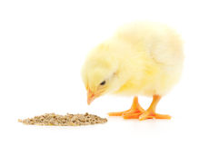 Baby Chicken Having A Meal Stock Images