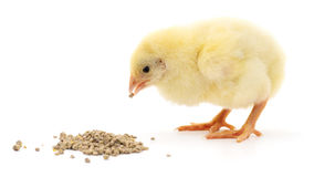 Baby Chicken Having A Meal. Stock Photo