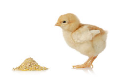 Baby chicken having a meal Royalty Free Stock Image