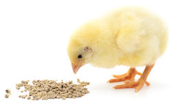 Baby chicken having a meal. Royalty Free Stock Photos