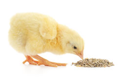 Baby chicken having a meal Stock Image
