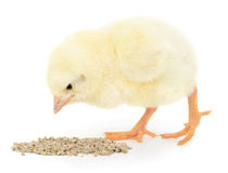 Baby chicken having a meal Royalty Free Stock Photos