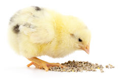 Baby chicken having a meal Royalty Free Stock Photography