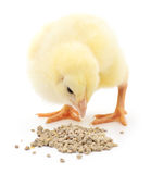 Baby chicken having a meal. Stock Image