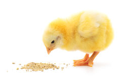 Baby chicken having a meal Royalty Free Stock Images