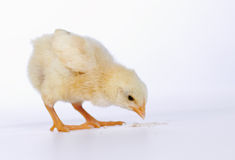 Baby chicken having a meal Stock Photos