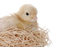 Baby Chicken In Her Nest royalty free stock images