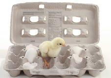 Baby Chicken In Egg Carton Royalty Free Stock Photos