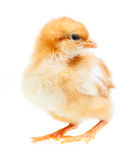 Baby Chicken Royalty Free Stock Photos