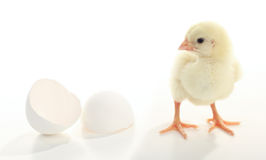 Baby chicken just born Stock Photography
