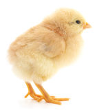 Baby chicken. Royalty Free Stock Images