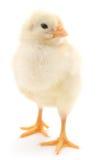 Baby chicken. Stock Photo
