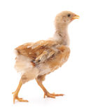 Baby chicken. Stock Image