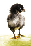 Baby Chicken looking to the right Stock Image