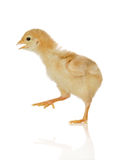 Baby chicken on the move. Isolated on white Stock Photos