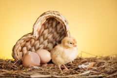Baby chicken in nest Royalty Free Stock Images