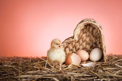 Baby chicken in nest Stock Images