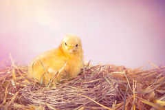 Baby chicken in a nest royalty free stock photos