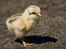 The baby chicken. The nice baby chicken on the farm Royalty Free Stock Photography
