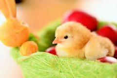 Baby chicken Royalty Free Stock Photo