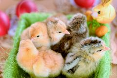 Baby chicken. One day old stock photo