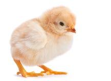 Baby chicken Stock Photos