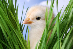 Baby Chicken Peaking At You Royalty Free Stock Image