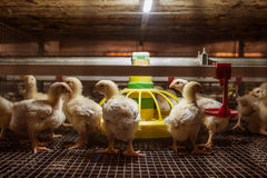 Baby chicken in poultry farm Stock Images