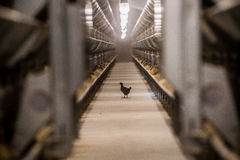 Baby chicken in poultry farm Royalty Free Stock Photos