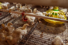 Baby chicken in poultry farm Stock Photography