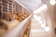 Baby chicken in poultry farm. Baby chicken in a poultry farm in the cells Stock Photos