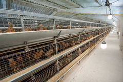 Baby chicken in poultry farm Stock Photo