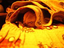 Baby chicken sleeping under a blanket Royalty Free Stock Images