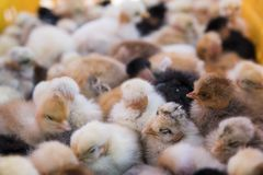 Baby chicken, small and very beautiful yellow chicks are placed in plastic cage box for sale on a fair. Incubator stock image