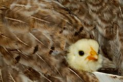 Baby Chicken Snuggled in Feathers. Baby chicken looks out from the comfort of her mom's feathers. Cute. But also creates a nice pattern with the feathers Stock Photos