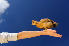 Baby Chicken on Spread Arm Against Blue Sky Stock Images