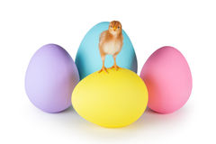 Baby Chicken Standing on Easter Eggs. 6 week old baby Rhode Island Red chicken standing on colorful easter eggs isolated on white Royalty Free Stock Image