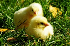 Baby chicken. Two yellow baby hen chicken at free range farm Stock Photos