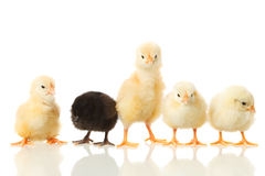 Baby chicken on white Royalty Free Stock Images